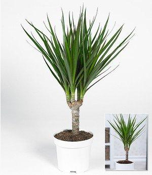 """Dracaena """"Marginata"""" ca. 40 cmhoch,1 Pflanze"""