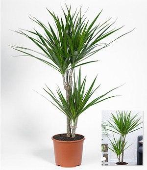 """Dracaena """"Marginata"""" ca. 70 cmhoch,1 Pflanze"""