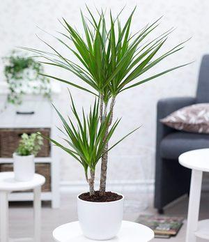 "Dracaena ""Marginata"" groß,1 Pflanze"