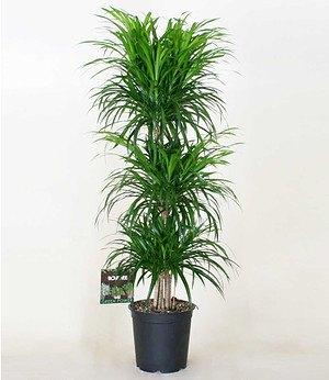 "Dracaena reflexa ""3 Etagen""ca 90 cm hoch,1 Pflanze"