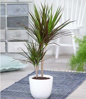 """Dracena """"Magenta"""" ca50 cm hoch,1 Pflanze"""