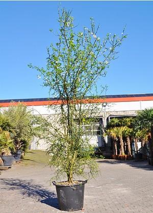 Dreiblättrige Orange (Bitterorange) - Poncirus trifoliata