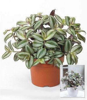 """Dreimasterblume """"Violett Hill"""",1 Pflanze"""