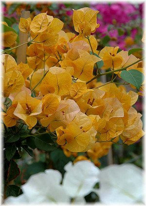Drillingsblume Bougainvillea spectabilis ´Aurantiaca`