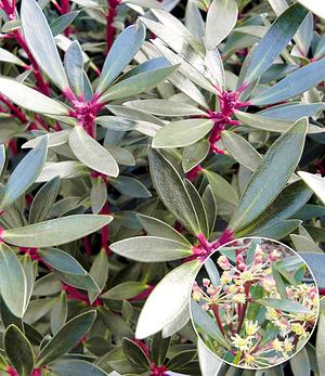 """Drimys """"Red Spice"""",1 Pflanze"""