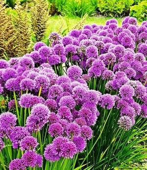 """Duft-Allium-Staude """"Millenium"""",3 Knollen"""
