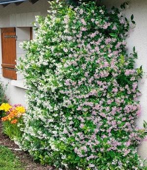 """Duft-Jasmin """"Pink & Weiß"""",2 Pflanzen"""