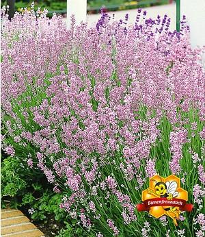 "Duft-Lavendel ""Rosa"",3 Pflanzen"