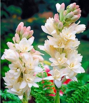 "Duft-Tuberose ""The Pearl"",3 Knollen Polianthes tuberosa"
