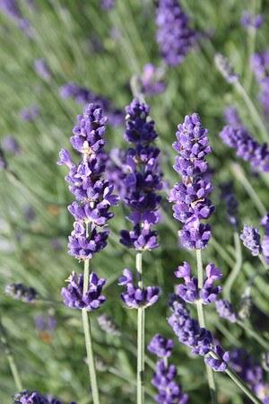 Dunkelblauer Lavendel «Hidcote Blue»