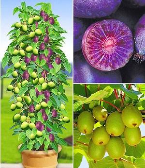DUO-Kiwi-Turm-Kollektion,2+1 Pflanzen