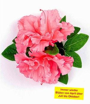 """Durchblühende Azalee """"Bloom-A-Thon®"""" pink,1 Pflanze"""