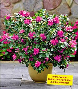 """Durchblühende Azalee """"Bloom-A-Thon®"""" purple,1 Pflanze"""