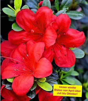 "Durchblühende Azalee ""Bloom-A-Thon®"" rot,1 Pflanze"