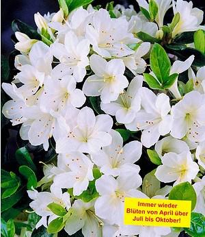 """Durchblühende Azalee """"Bloom Champion"""" weiß, 1 Pflanze"""