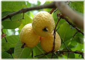 Echte Guave Psidium guajava