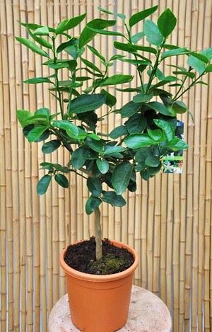 Echte Limette (Caipi-Limette) Citrus aurantifolia