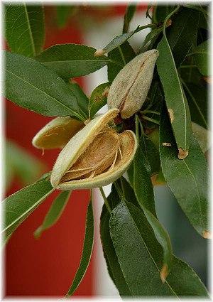Echter Mandelbaum Prunus dulcis ´Tuono`