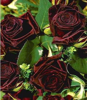 "Edelrose ""Black Baccara®"",1 Pflanze"