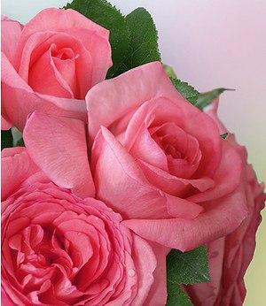 "Edelrose ""Fragonard®"",1 Pflanze"