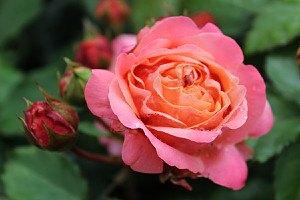 Edelrose, Nostalgie-Edelrose Mary Ann Mary Ann (im grossen Container)