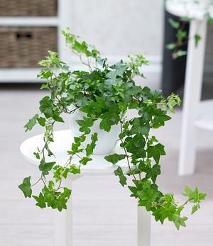 Efeu,1 Pflanze