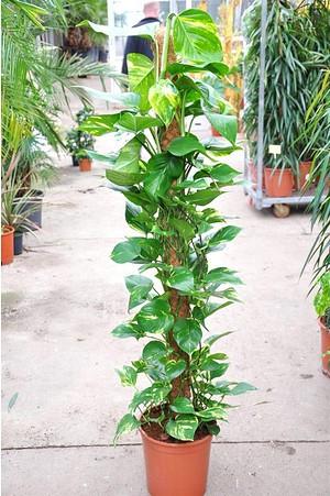 Efeutute am Stock - Epipremnum pinnatum