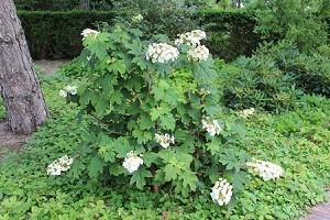 Eichblatthortensie, Hortensie, eichenblättrige Hortensie