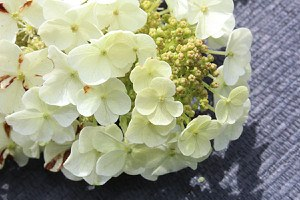 Eichenblättrige Hortensie 'IceCrystal'