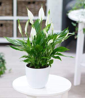 Einblatt Spathiphyllum,1 Pflanze