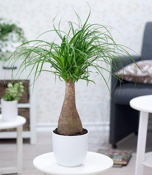 Elefantenfuß im 17 cm Topf,1 Pflanze