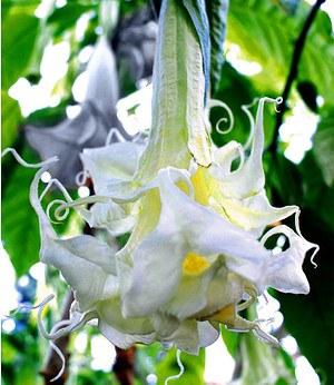 stehende geranie appleblossom 3 pflanzen g nstig online. Black Bedroom Furniture Sets. Home Design Ideas