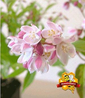Erdbeer-Duft-Deutzie,1 Pflanze
