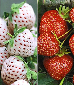 "Erdbeer-Raritäten ""Sengana® Selektion & Natural White"",9 Pflanzen"