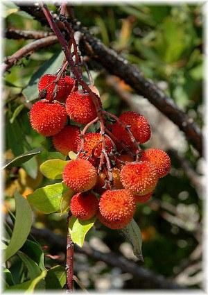 Erdbeerbaum Arbutus unedo