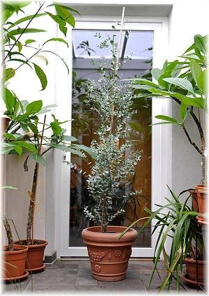 Eukalyptus Eucalyptus gunnii