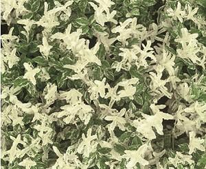 Euonymus fortunei 'Harlequin' - Spindelstrauch