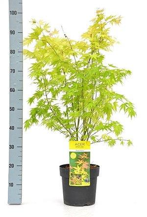 Fächerahorn (Orange Dream) - Acer palmatum Orange Dream