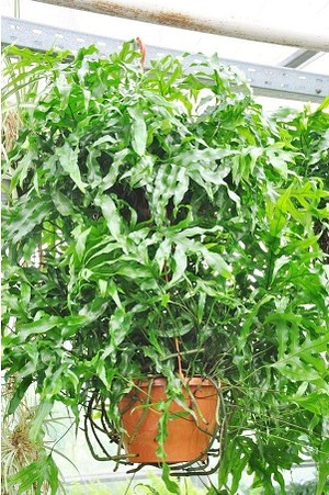Farn (Känguru Farn) - Microsorum diversifolium