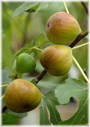 Feige, Sorte Dottato Ficus carica ´Dottato`