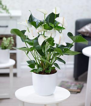 """Flamingoblume """"Weiß"""",1 Pflanze"""