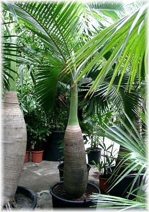 Flaschen-Palme Hyophorbe lagenicaulis