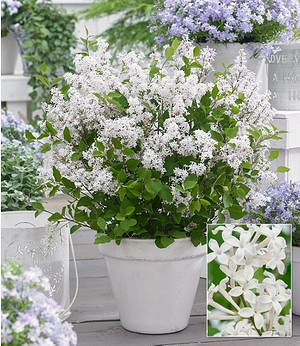 "Flieder ""Flowerfest White®"",1Pflanze"