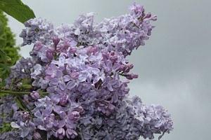 Flieder, Hyazinthen-Flieder Lavender Lady