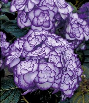 """Freiland-Hortensie """"Miss Saori blue®"""",1 Pflanze"""