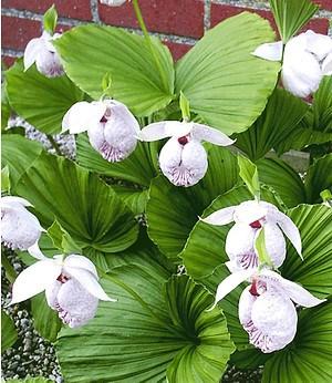 "Freiland-Orchidee ""Formosana"",1 Pflanze"