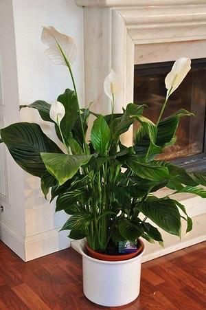 Friedenslilie (Blattfahne) - Spathiphyllum