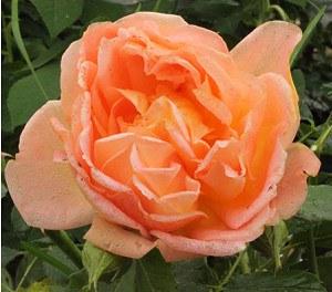 frisch getopftes, kräftiges Rose Lady of Shalott® (im grossen Containe