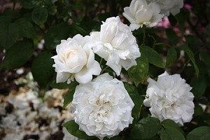 frisch getopftes kräftiges Stämmchen Rose Winchester Cathedral® (im gr