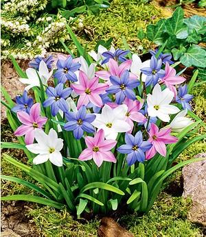 Frühlingsstern-Farbtrio,15 Zwiebeln